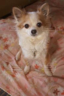 茶色と白の小型犬 - No.973704
