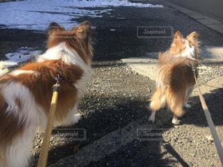 カメラを見て、茶色と白の犬のグループ - No.982452
