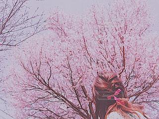 ピンクの花の木の写真・画像素材[1044106]