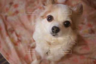 カメラを見て小型犬 - No.1186099