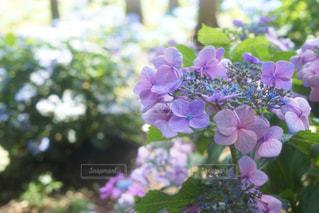 花,あじさい,紫陽花,梅雨