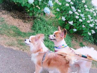 犬,花,あじさい,散歩,ペット,紫陽花,梅雨
