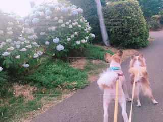 犬,あじさい,散歩,ペット,紫陽花,梅雨