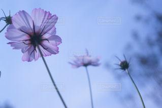 ピンク,コスモス,秋空,こすもす
