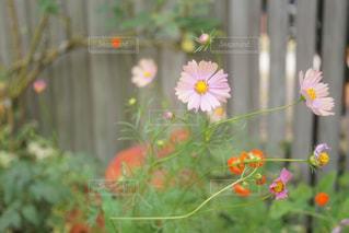 近くの花のアップの写真・画像素材[1466296]