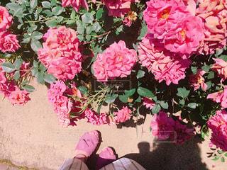 植物にピンクの花の写真・画像素材[1476977]