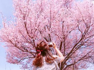 桜,ピンク,神奈川