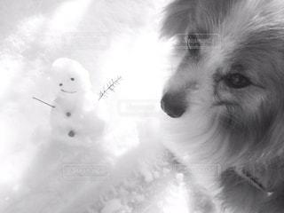 カメラを見て犬の写真・画像素材[1657268]