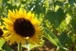 緑の葉と黄色の花の写真・画像素材[1827847]