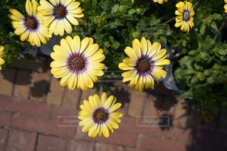 黄色の花の写真・画像素材[1830609]