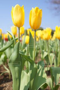 空,花,散歩,黄色,チューリップ,ガーデニング,イエロー,カラー,元気が出る色