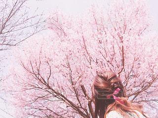 ピンクの花の木の写真・画像素材[1832019]