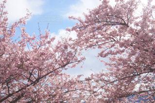 空,春,桜,ピンク,ハート,お花見,河津桜,神奈川県,松田山ハーブガーデン