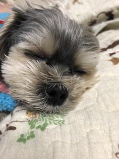 ぐっすり犬の写真・画像素材[2094312]