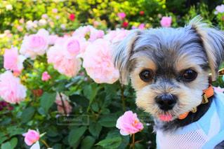 バラと犬の写真・画像素材[2094336]