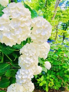 白い紫陽花の写真・画像素材[3457173]