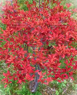 緑の葉と赤い花の写真・画像素材[848961]