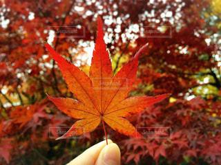 赤い葉っぱの写真・画像素材[775482]