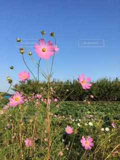 空,花,秋,ピンク,コスモス,青空,秋桜,秋空