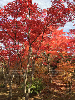紅葉するモミジの木の写真・画像素材[846038]