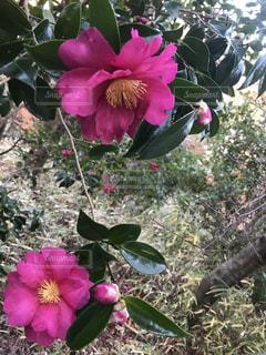 植物にピンクの花の写真・画像素材[902284]