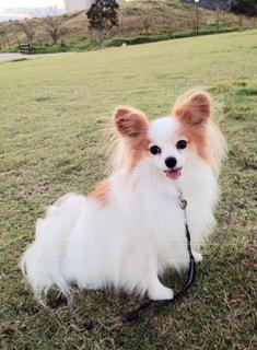 草の中の小さな白い犬立っての写真・画像素材[1207603]