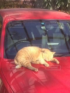 赤い車の上で眠っている猫の写真・画像素材[974221]