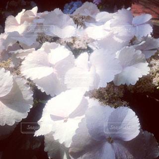 自然,花,紫陽花,草木