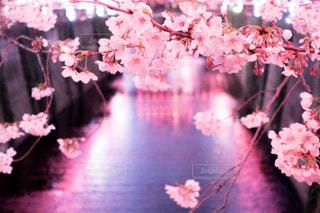桜,ピンク,花見,目黒川,ピンク色,桃色,pink