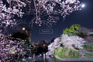 桜,夜景,ピンク,花見,千鳥ヶ淵,ピンク色,桃色,pink