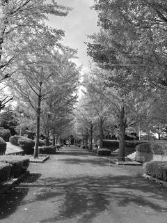 銀杏並木の写真・画像素材[814704]