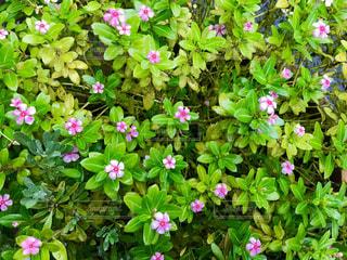 かわいいピンクの花🌸の写真・画像素材[835417]