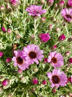 かわいいピンクの花🌸の写真・画像素材[842782]