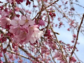 かわいいピンクの桜の花🌸の写真・画像素材[842799]