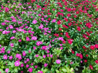 ピンクと赤の花🌸の写真・画像素材[843382]