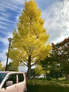 ピンクの車と黄色の銀杏の木の写真・画像素材[845992]
