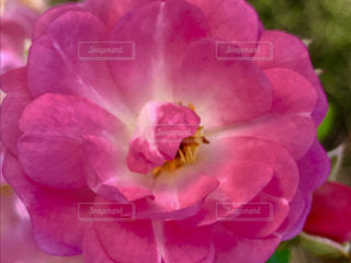 バラの花のアップ🌹✨の写真・画像素材[846078]