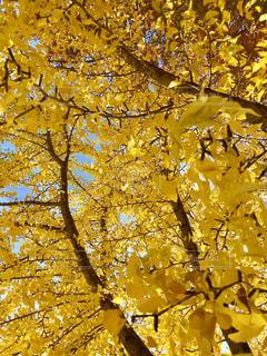 真っ黄色の銀杏の葉🌿🍁🍂🍃の写真・画像素材[846406]