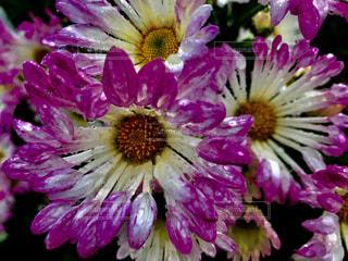 ピンクの菊の花🌸の写真・画像素材[846417]