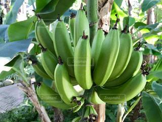 バナナの木🍌🍌🍌の写真・画像素材[922925]