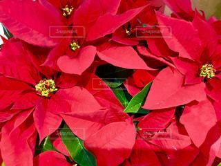 花,植物,赤,クリスマス,ポインセチア,植物園