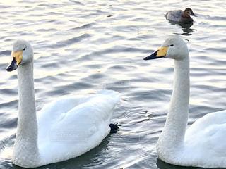 よく行く公園の湖に白鳥が泳いでいます😊の写真・画像素材[986298]