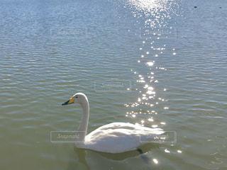 動物,鳥,湖,水面,泳ぐ,光,逆光,キラキラ,スワン,白鳥,休日,水鳥