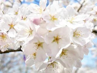 桜山の桜🌸の写真・画像素材[1097334]