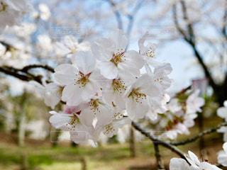 桜山の桜🌸の写真・画像素材[1097343]