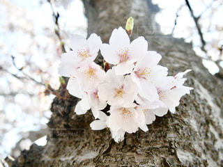 千波湖の桜🌸の写真・画像素材[1097351]