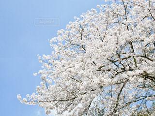 青空に桜満開🌸の写真・画像素材[1099347]