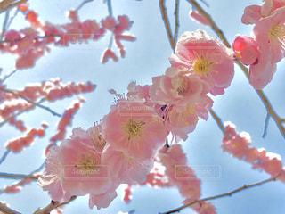 2018.3.14  偕楽園  水戸の梅まつり🌸の写真・画像素材[1122504]