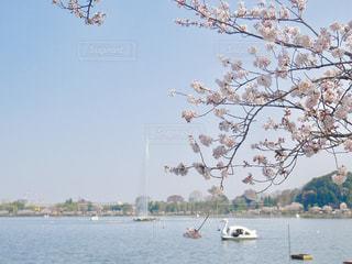 2018.3.28   千波湖   桜満開🌸今年は、桜の開花が早かったです。隣りの偕楽園では、梅まつり🌸が開催中でした。の写真・画像素材[1122520]
