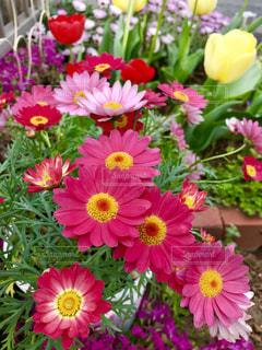 我が家の庭🏠今年も綺麗に咲きました🌸🌼🌷💕の写真・画像素材[1158842]